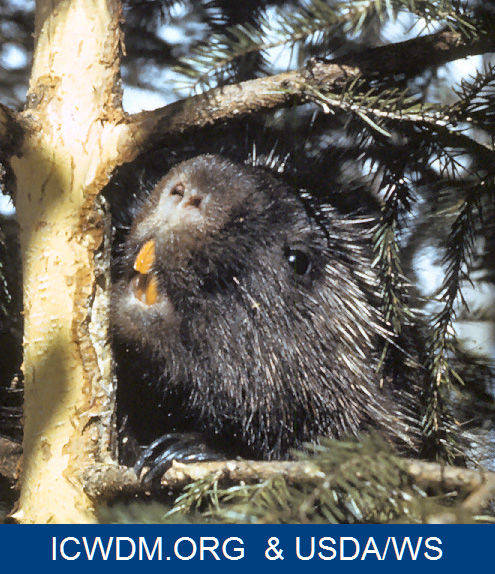 Porcupine chewing on a pine tree